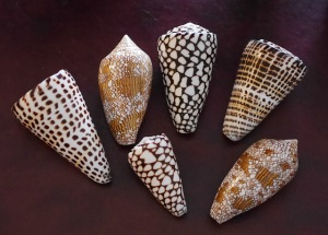 Cone Snail Shells
